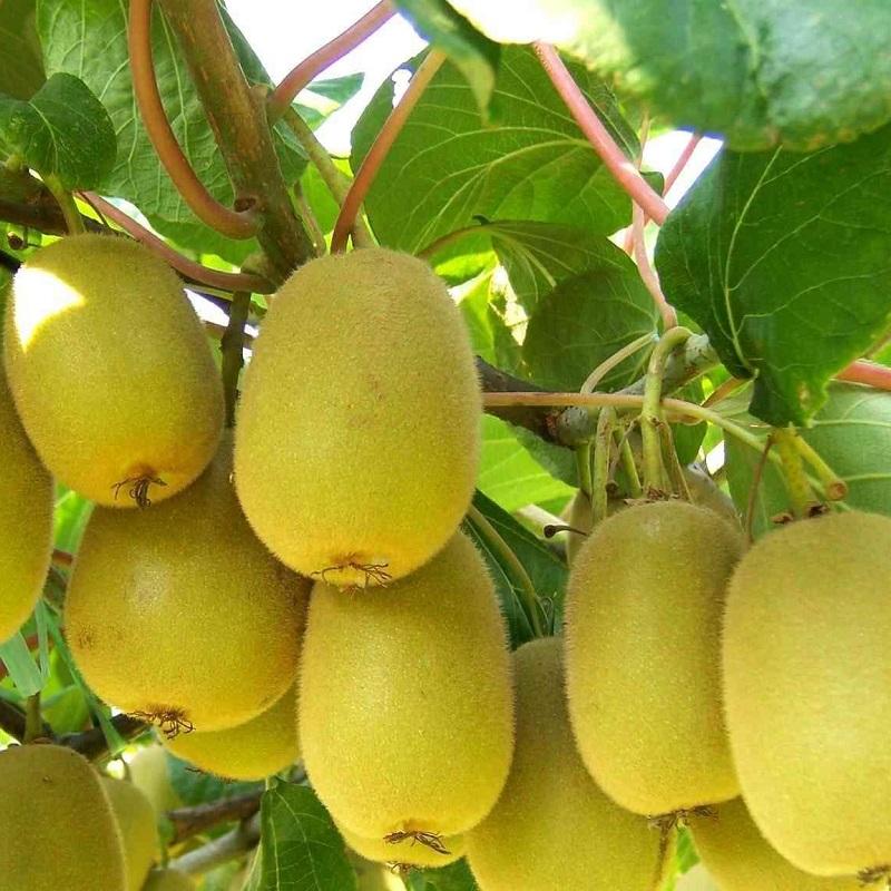 猕猴桃营养方案