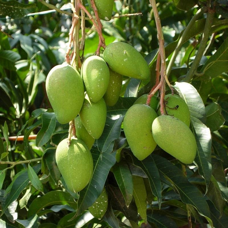 芒果营养方案