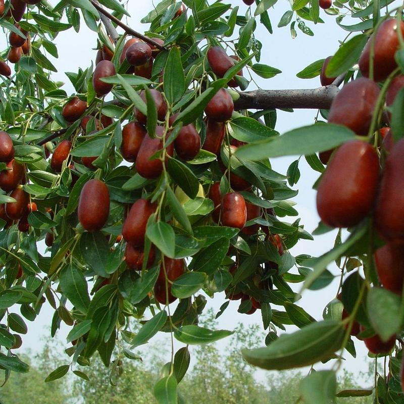 枣树营养方案